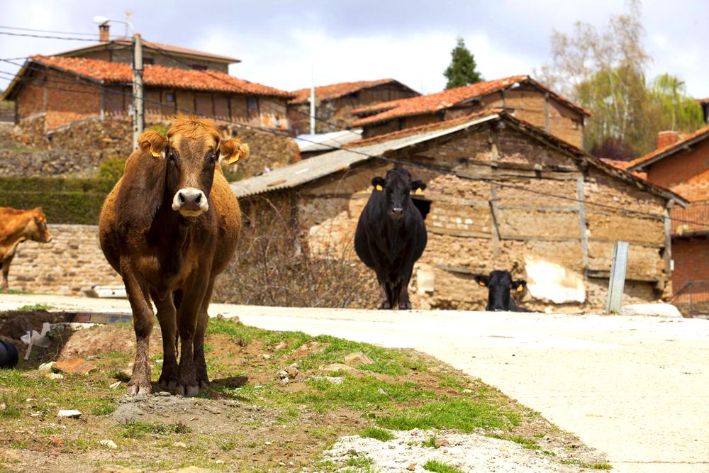 Vacas en el pueblo